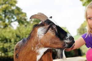 syracuse goat